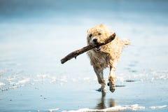 Dog spring på stranden med en pinne Arkivfoto