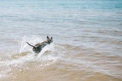 Dog spring på stranden med en pinne amerikanska staffordshire terrier royaltyfri fotografi
