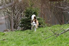 Dog. Spring and summer time. Dogs run on a meadow in nature on a daylight. Happy dog. Dogs play in grass.  Stock Photography