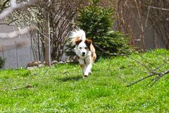 Dog. Spring and summer time. Dogs run on a meadow in nature on a daylight. Happy dog. Dogs play in grass.  Royalty Free Stock Photo