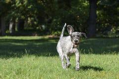 Dog spring till och med fältet av gräs i parkera Royaltyfria Bilder