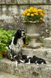 Dog, springer spaniel Royalty Free Stock Image