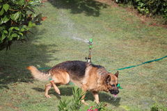 The dog and the sprinkler Stock Photography