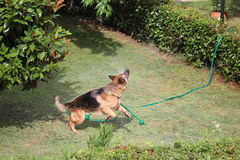 The dog and the sprinkler Royalty Free Stock Image