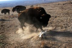 Dog Squares Off With Buffalo Bison Royalty Free Stock Photo