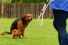 Dog squatting Royalty Free Stock Images