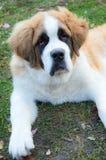 Dog St. Bernard in the grass adult, a portrait Stock Photos