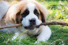 Dog St. Bernard on the grass lies stock photos