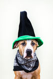 Dog in St. Patrick`s Day hat royalty free stock images