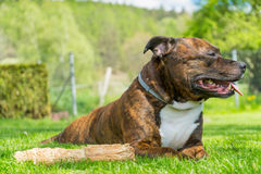 Dog, Staffordshire bull terrier, lying on freshly cutted grass w Royalty Free Stock Photos
