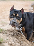 Dog Staffordshire terrier Royalty Free Stock Images