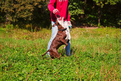 Dog stafordshirsky terrier plays with the owner Royalty Free Stock Photos