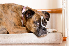 Dog on Stairs Royalty Free Stock Photo