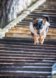 Dog on stairs Stock Photo