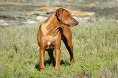 Dog standing Royalty Free Stock Photo