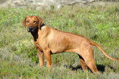Dog standing Royalty Free Stock Image