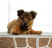 Dog standing on all fours. This is my 3 months old brown dog, standing on all fours on the stairs in front of a white background Royalty Free Stock Photography