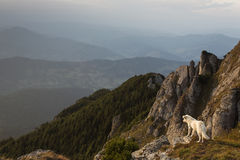 Dog standing on the background of mountain scenery Royalty Free Stock Images