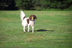 Dog standing with a ball in his mouth. A dog standing in a meadow with a ball in his mouth Stock Photography