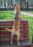 Dog standing on bench Royalty Free Stock Images