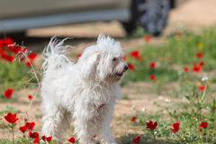 Dog standing blooming poppies Stock Image