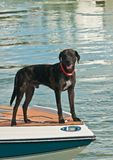 Dog standing on bow of a powerboat at a tropical marina royalty free stock photos