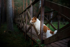 A dog standing on the bridge and looks forward. Jack Russell Terrier Royalty Free Stock Images