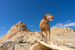 Dog standing on cliff royalty free stock photography