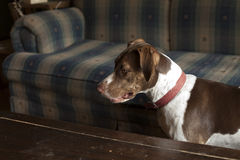 Dog Standing by Coffee Table Royalty Free Stock Image