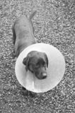 Dog standing with cone. A door labrador dog with a cone around his neck. Shaved fur on his right cheek with an injury Royalty Free Stock Image