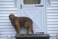 Dog standing at doorway of house Royalty Free Stock Photos