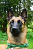 Dog from the front - portrait Malinois. Dog with standing ears from the front - portrait Belgian shepherd dog Royalty Free Stock Photo