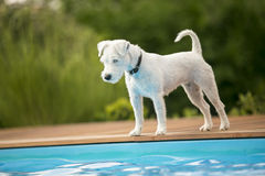 Dog standing at the edge of swimming pool, waiting Stock Photography