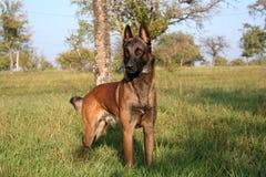 A dog standing in a field. Portrait of a malinois, Belgian shepherd in a field Stock Photo