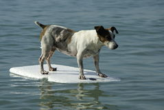 Dog standing on float Stock Photos