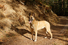 A dog standing in the forest. A Belgian shepherd on a forest road Stock Photography