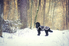 Dog standing in the forest Stock Images