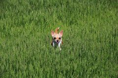 Dog Standing in a Grass. Dog, chihuahua, playing in the grass at the park Stock Images