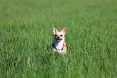 Dog Standing in a Grass. Dog, chihuahua, playing in the grass at the park Stock Image