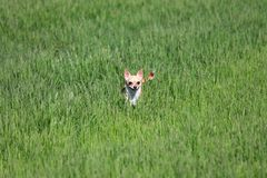 Dog Standing in a Grass. Dog, chihuahua, playing in the grass at the park Royalty Free Stock Photo