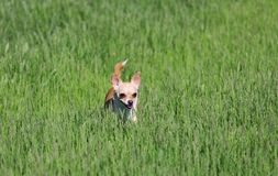 Dog Standing in a Grass Stock Photos