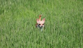Dog Standing in a Grass Royalty Free Stock Images