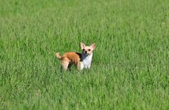 Dog Standing in a Grass Royalty Free Stock Photography