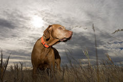 Dog standing in grass with cloudy background Stock Image