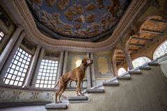 Dog standing on hacienda interior stairs Royalty Free Stock Image