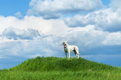 Dog standing on a hill Stock Photography