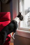 Dog standing looking out window Royalty Free Stock Photography