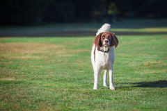 Dog standing in a meadow. A dog, standing in a green meadow on a sunny day in summer Stock Photography