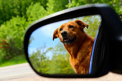Doggy in mirror may be closer than she appears. Dog standing out the side window of a car with reflection in the rear view mirror stock photo