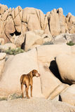 Dog standing outdoors with cliffs in background Stock Images